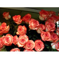 Саженцы роз Игуана