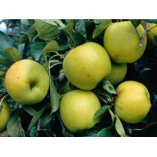 Саженцы яблони Гринсливз
