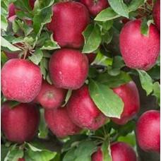 Саженцы яблони Джона Ред Принц
