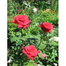 Саженцы роз Софи Лорен