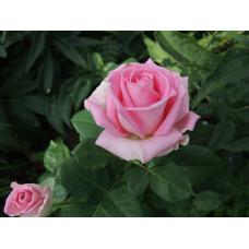 Саженцы чайно-гибридных роз Аква