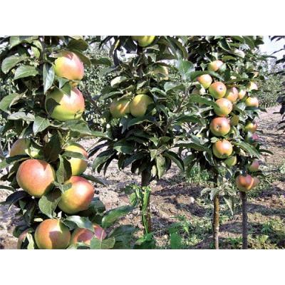 Саженцы колоновидной яблони Останкино