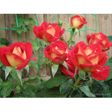 Саженцы чайно-гибридных роз Френдшип