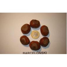 Саженцы фундука Барселонский однолетний