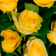 Саженцы роз Илиос