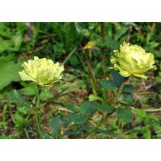 Саженцы роз Лимбо