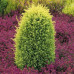 Можжевельник обыкновенный Голд Кон (10-15 см, ЗКС)