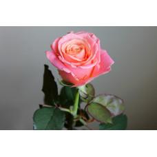 Саженцы роз Мисс Пигги