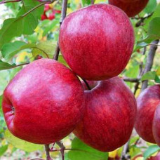 Саженцы яблони Камео