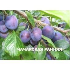 Саженцы сливы Чачакская Рання