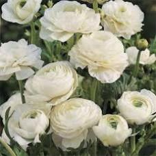 Ранункулюс Аsiaticus Tomer Белый (3 шт.)