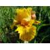 Ирисы Golden Beauty (5шт.)