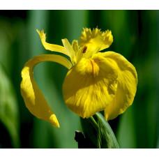 Ирисы Hollandica Yellow  (5шт.)