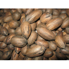 Саженцы ореха Пекан Киова (однолетние)