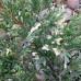 Можжевельник горизонтальный Андорра Вариегата 5-10см