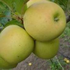 Саженцы яблони Сильвия