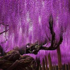 Глициния Фиолетовый закат