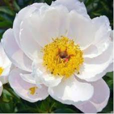 Пион Травянистый Krinkled White (корневище)