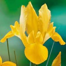 Ирис Golden Beauty (3 шт.)