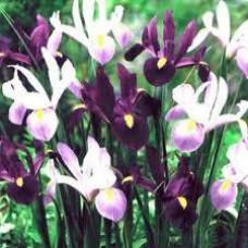 Ирис Purple Lavender Mix (3 шт.)