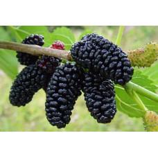 Шелковица Черный Принц (крупноплодная)