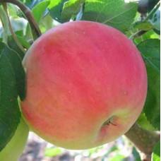 Саженцы яблони Безгуда