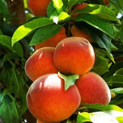 Саженцы колоновидного персика Тотем Садовода