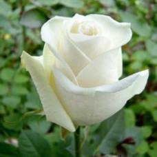 Саженцы роз Боинг