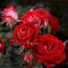 Саженцы бордюрных роз Мейди