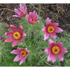 Сон-трава (Прострел) Обычная Розовая