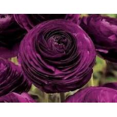 Ранункулюс Аsiaticus Tomer Фиолетовый (3 шт.)