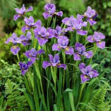 Ирисы Purple Lavender Mix (5 шт.)