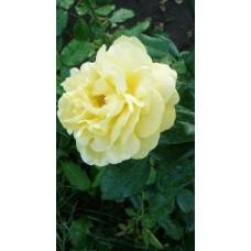 Саженцы роз Старлайт
