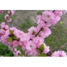 Миндаль Розовый Декоративный
