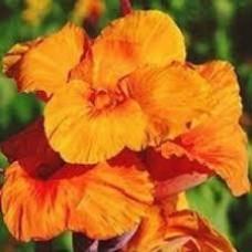 Канна Orange Beauty